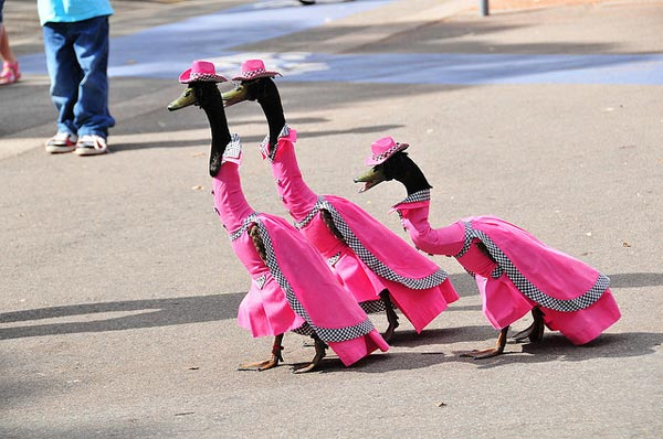 Pied Piper Duck Fashion Show in Australia