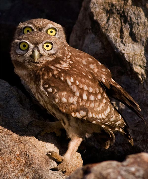 Four-Eyed Owl