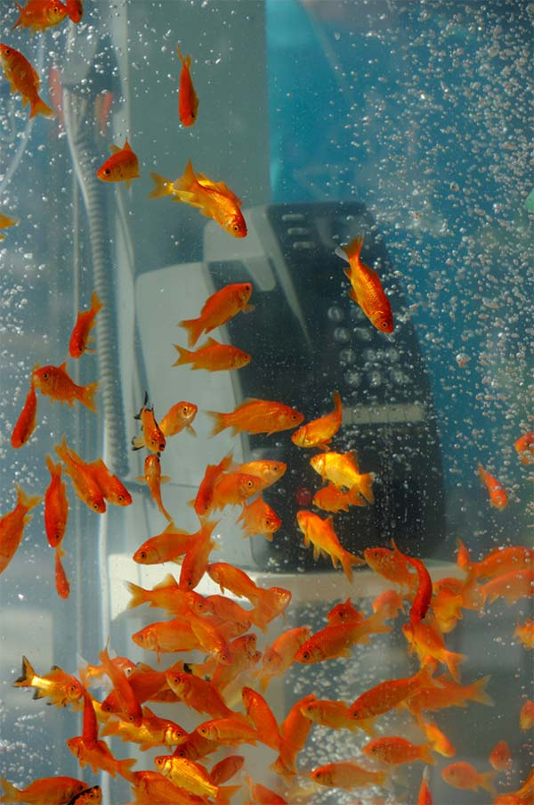 Phone Booth Transformed into Goldfish Aquarium