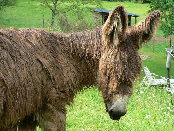 Poitou Donkey - The Rarest Breed of Donkey