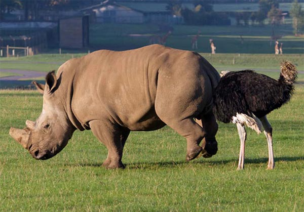 Rhino Goosed By Ostrich