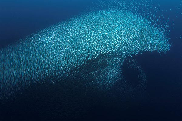 Sardines form giant dolphin shape