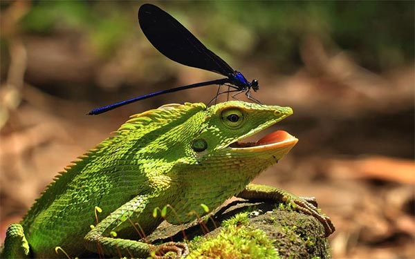 Daring Damselfly Landed on The Head of Chameleon