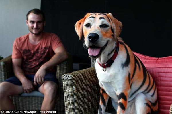 Owner dyed Lilo the labrador look like a TIGER for niece's birthday treat