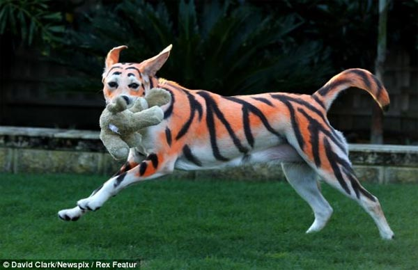 10-month-old Labrador has been dyed to look like a tiger