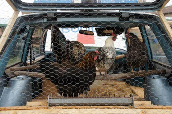 Chicken Coop in Police Car
