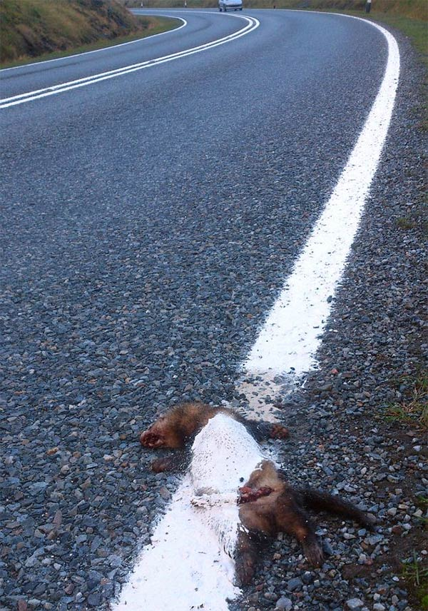 Highway Workers Paint White Line Over A Squashed Polecat