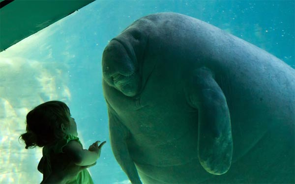 A toddler gazes in wonder at a manatee at Seaworld, in Orlando, Florida.