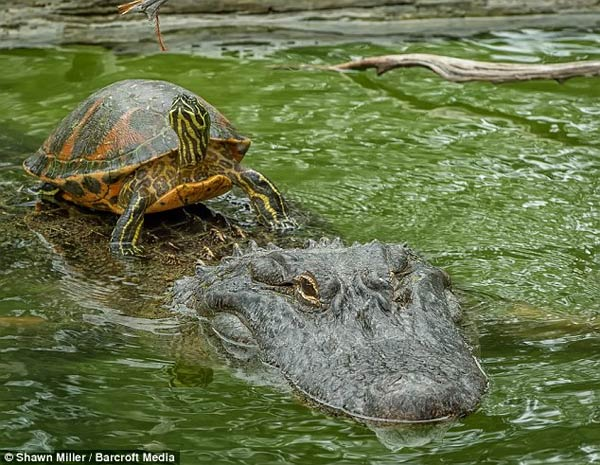 Turtle Riding Alligator To Cross The Pond