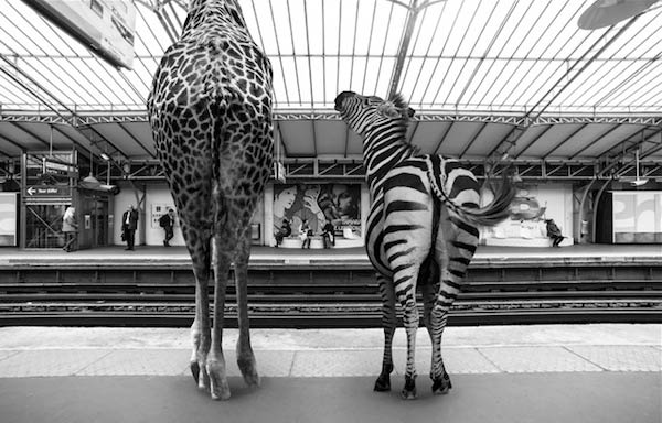 If Savanna Animals Took the Subway