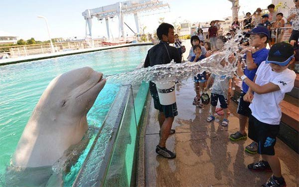 Beluga Whale Sprays Water onto Spectators
