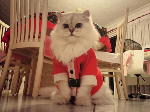 Cat Wearing Santa Outfit