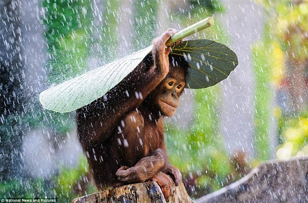 Orangutan Using Banana Leaf To Protect From Rain