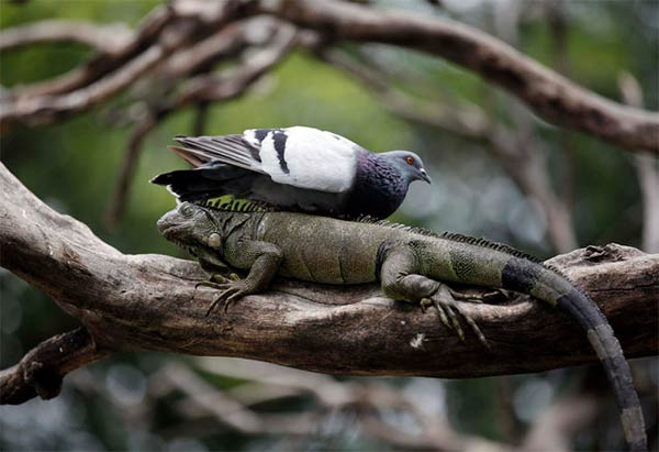Pigeon Rests On Wild Iguana