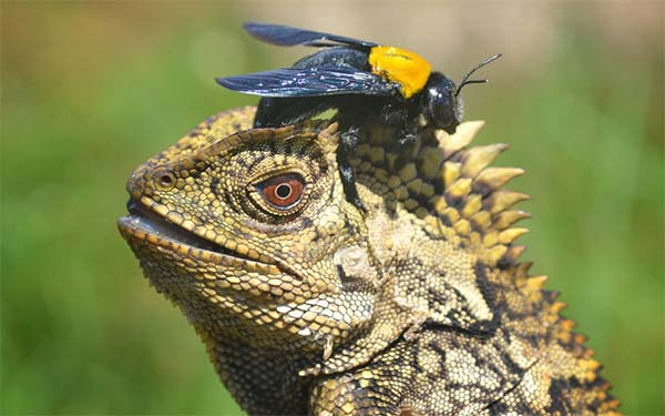 Brave Bee Landed On Lizard's Head