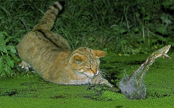 Cat Trying To Catch A Frog