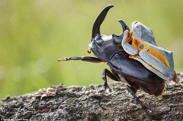 Cowboy Frog Enjoys Riding Beetle