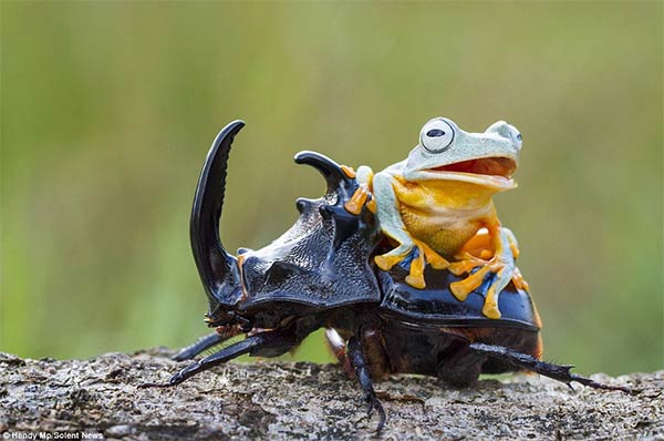 Adventurous Frog Riding A Beetle