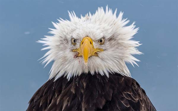Funny Bald Eagle Hairs