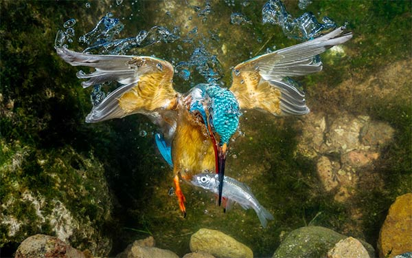 Kingfisher Catching A Fish Underwater