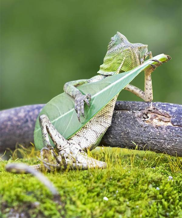 Lizard Caught Playing Leaf Guitar