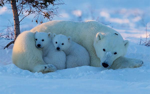 Polar Bear Cubs with Mother