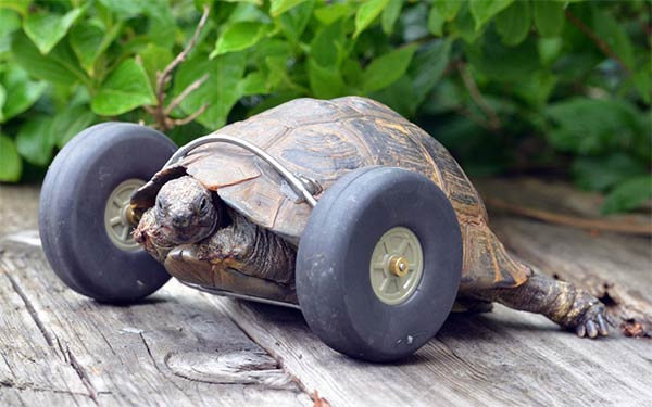 Tortoise Gets Wheels In Place Of Injured Legs