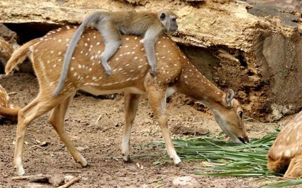 Mischievous Monkey Rides On A Friendly Deer