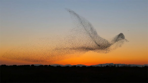 Starlings Forming Giant Bird Shape