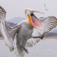 Dalmatian Pelican Catching Fish
