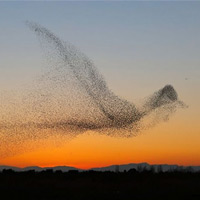 Starlings Formed A Giant Bird Shape