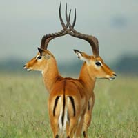 Two-Headed Gazelle Stunned Photographers on Safari