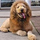 The Labradoodle Who Looks Like A Lion