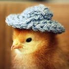Cute Baby Chicks Wearing Funny Little Hats