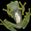 """Crystal Frog"" Discovered In The Forest of Costa Rica"