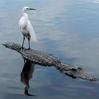 Brave Egret Rides On The Back Of Alligator