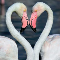 Flamingos Forming A Heart Shape