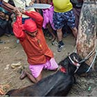 Gadhimai Festival Nepal: 300,000 Animals Killed To Bring Worshipers Good Luck