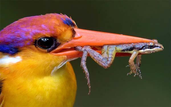 Kingfisher Caught Frog In Peak