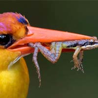 Closeup: Kingfisher Caught Frog In Its Peak