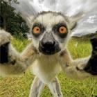 Limelight-Loving Lemur