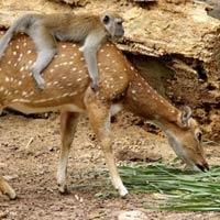 Mischievous Monkey Rides On A Friendly Deer