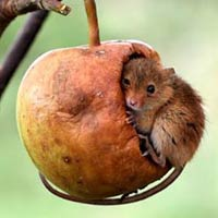Genius Harvest Mouse Takes Daytime Nap Into Hanging Apple