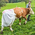 Nappy-Wearing Cows: Bavarian Farmer Puts Nappies On His Cows in EU Protest