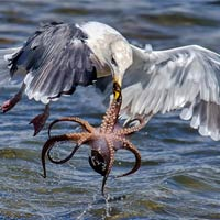 Hungry Gull Taking Challenge of Catching An Octopus