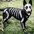 White Bones Painted on Black German Shepherd Dog