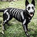 White Bones Painted on Black German Shepherd Dog