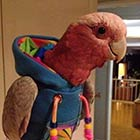 A Parrot Wearing Hoodie