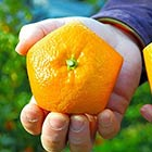 Farmers in Japan Grow Pentagon Shaped Oranges