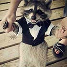 Raccoon in a Suit
